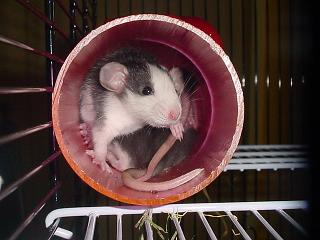 how long do rats live in captivity