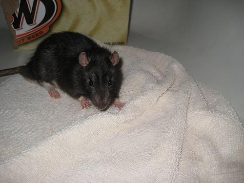 wild baby rat