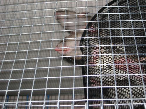 dead rodent disposal