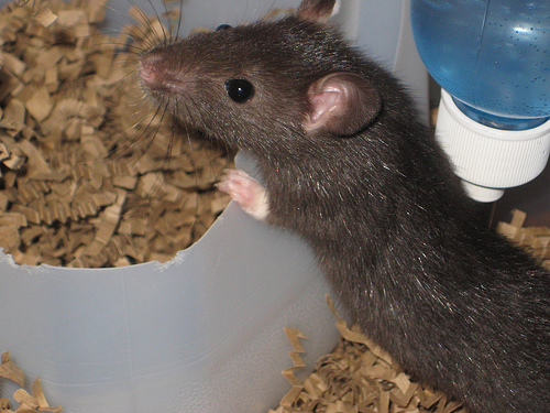 how long do rats live?