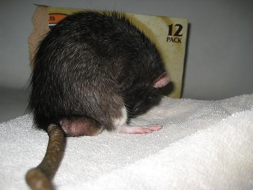 do roof rats burrow