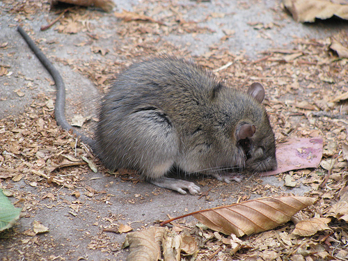 how much to get rid of rats