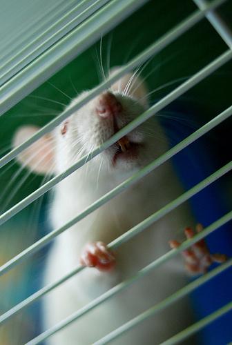 rats making noise