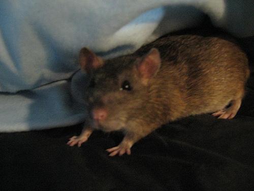 furry tail rat