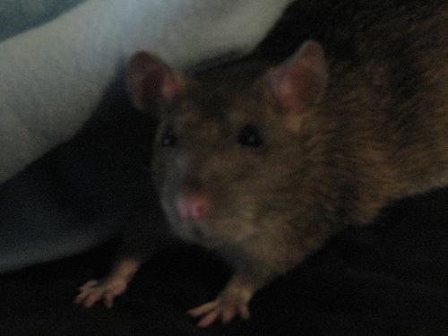 do mice make nests