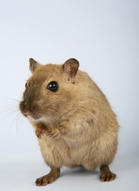 what does a palm rat look like