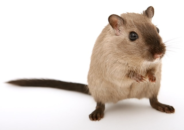 what rats look like