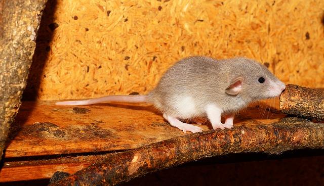 florida rat identification