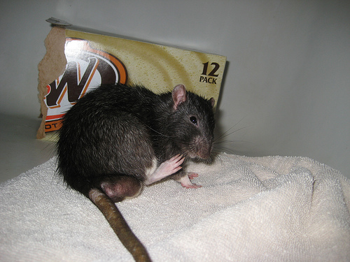 rats lifespan