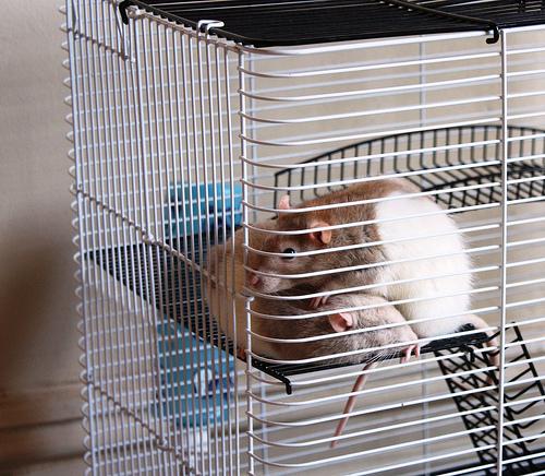 rat rodent control