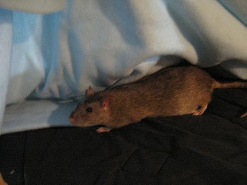 cheap rats