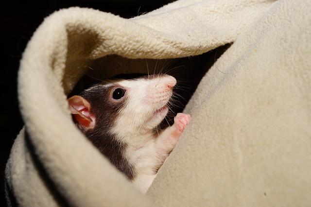 rat droppings vs mice droppings